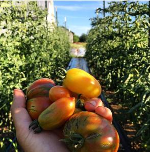 Tomato Row